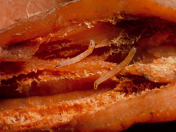 le force 1 5 g de syngenta reconduit pour les carottes c leri raves et navets. Black Bedroom Furniture Sets. Home Design Ideas