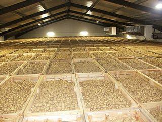 Conservation des pommes de terre