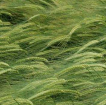 Photo du variétés d'orge d'hiver 2 rangs Albertine