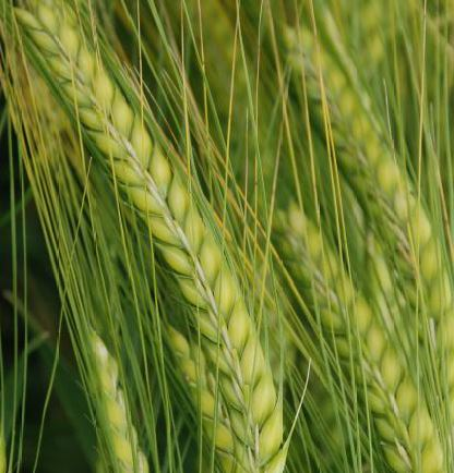 Photo du variétés d'orge d'hiver 2 rangs Precosa