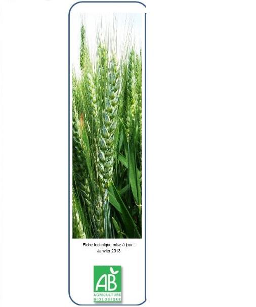 Photo du variétés blé d'hiver Lukullus