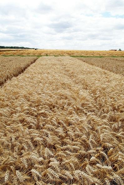 Photo du variétés blé d'hiver Kundera