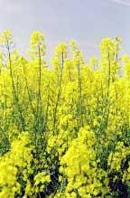 Photo du variétés de colza d'hiver Hektor