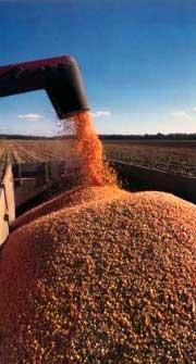 Photo du Variétés de maïs grain Benefic