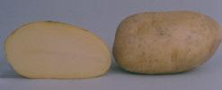 Photo du Pommes de terre de consommation Agata