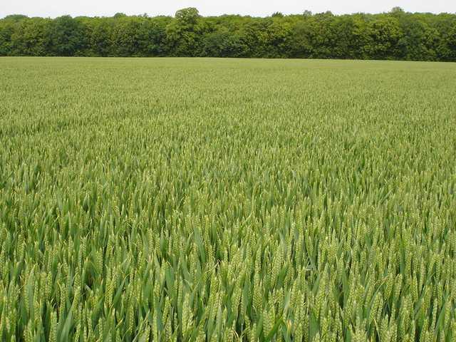 Photo du variétés blé d'hiver Premio
