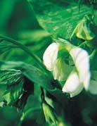 Photo du variétés de pois de printemps Calao