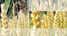 Photo du Herbicides céréales Andiamo