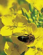 Photo du variétés de colza d'hiver Ovation