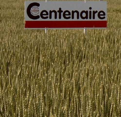 Photo du variétés blé d'hiver Centenaire