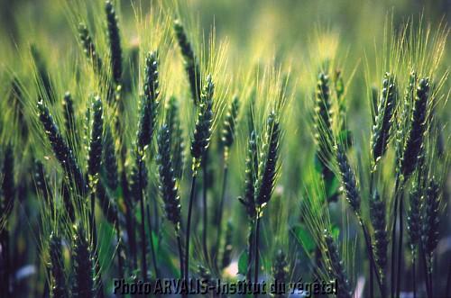 Photo du Fongicides céréales Amistar