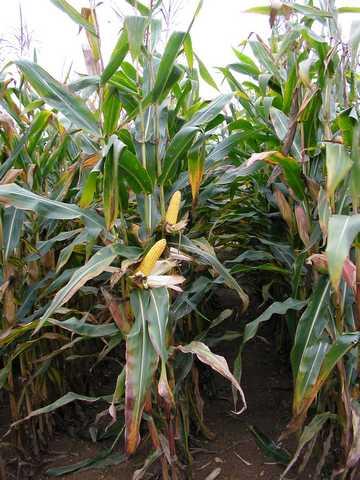 Photo du Variétés de maïs grain Valarta