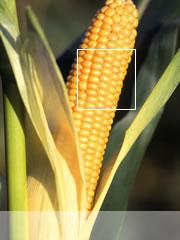 Photo du Variétés de maïs fourrager Amelior