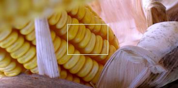 Photo du Variétés de maïs fourrager Addison