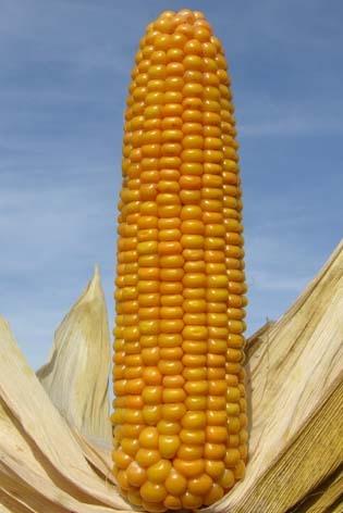 Photo du Variétés de maïs fourrager Beatus