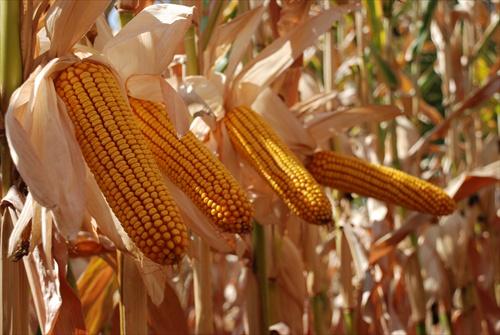 Photo du Variétés de maïs grain PR37F73