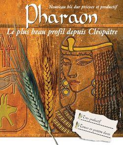 Photo du variétés blé d'hiver Pharaon