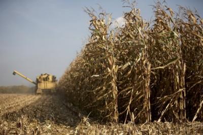 Photo du Variétés de maïs grain Konvergens