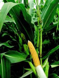 Photo du Variétés de maïs fourrager Mas 18.C