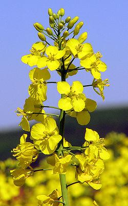 Photo du variétés de colza d'hiver Bohème