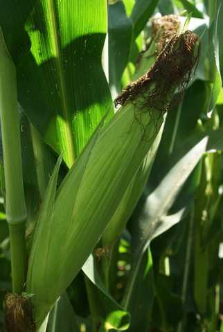 Photo du Variétés de maïs grain Da Siboney