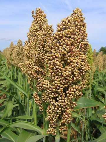 Photo du variétés de sorgho Talggo