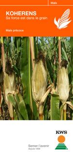 Photo du Variétés de maïs grain Koherens