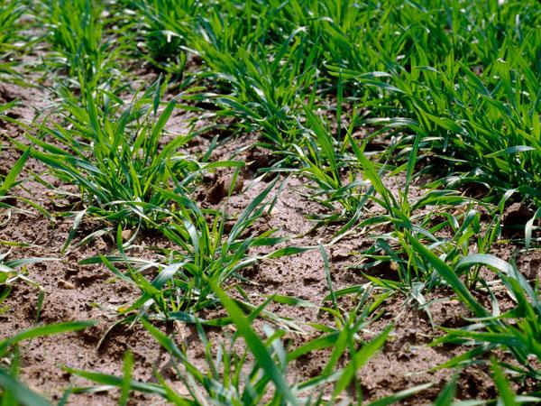 Photo du Herbicides céréales Traxos Pratic