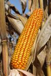 Photo du Variétés de maïs grain 9361