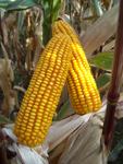 Photo du Variétés de maïs grain Konkretis