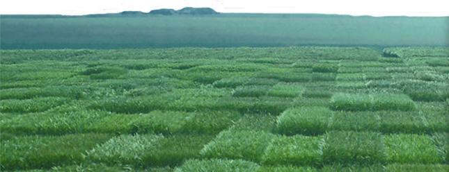 Photo du variétés blé d'hiver Aguila