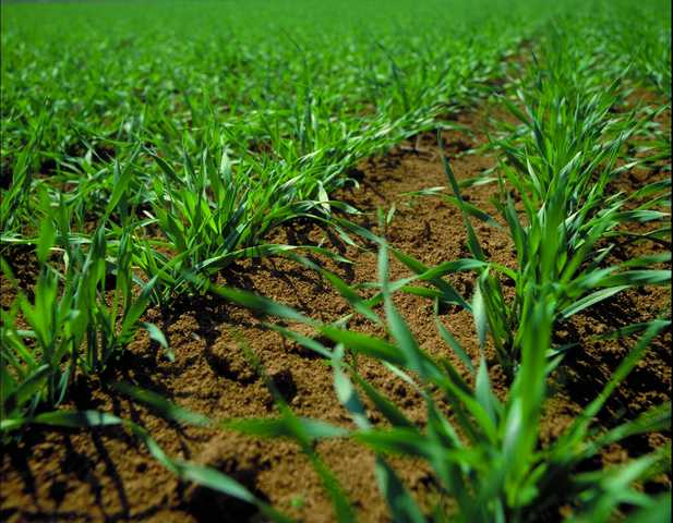 Photo du Herbicides céréales Trooper