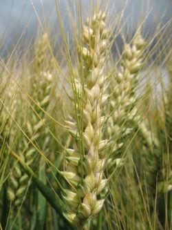Photo du variétés blé d'hiver Aristote
