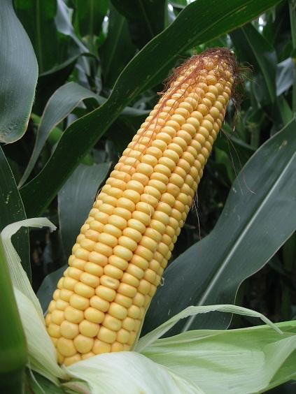 Photo du Variétés de maïs grain Karawas