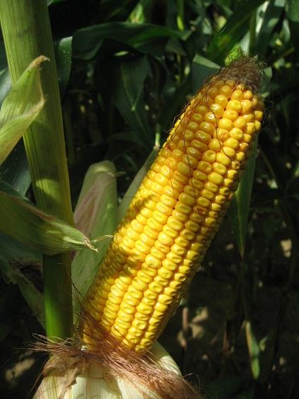 Photo du Variétés de maïs grain Forvia