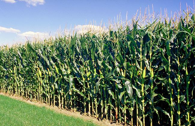 Photo du Variétés de maïs mixte Elisaro