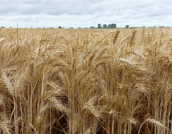 Photo du variétés blé d'hiver Fanion