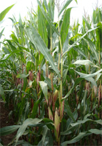Photo du Variétés de maïs grain Konsensus