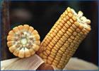 Photo du Variétés de maïs fourrager Eliot