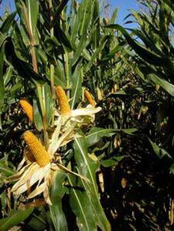 Photo du Variétés de maïs fourrager Mederos
