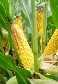 Photo du Variétés de maïs mixte Mas 21D