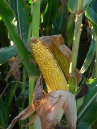 Photo du Variétés de maïs grain Mas 25A