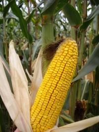 Photo du Variétés de maïs grain Mas 32F