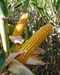 Photo du Variétés de maïs grain Vasili