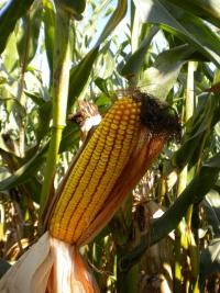 Photo du Variétés de maïs grain Mas 56E