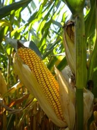 Photo du Variétés de maïs grain Mas 52C