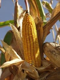 Photo du Variétés de maïs grain Mas 53B