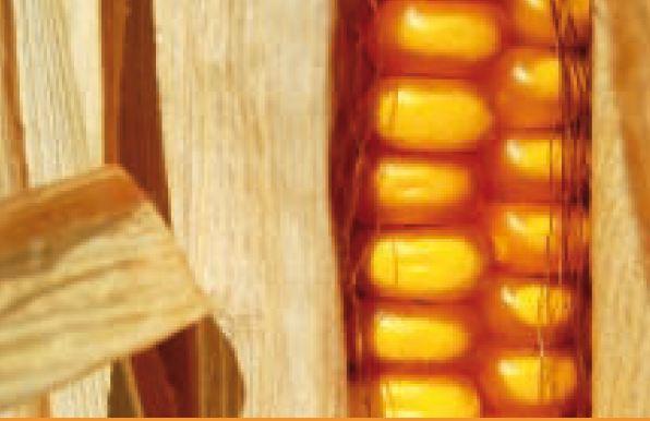 Photo du Variétés de maïs grain Maxxis DUO