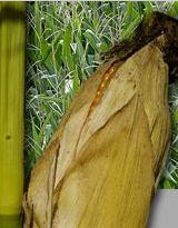 Photo du Variétés de maïs grain Texxud DUO