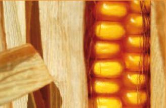 Photo du Variétés de maïs grain Shexxpir DUO